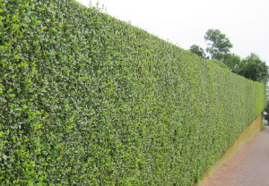 hedge-cutting-maintenance-tooting